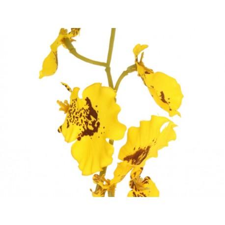 Pacific Elte Orquídea Pepix Amarilla - Envío Gratuito